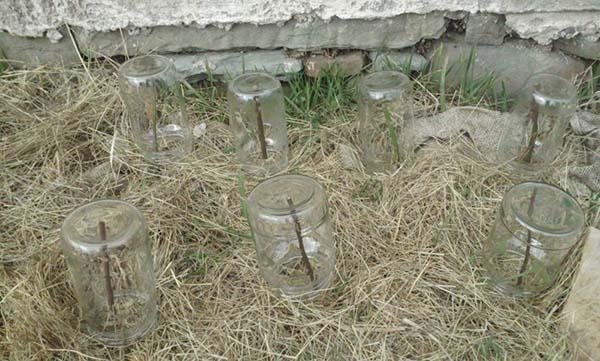 укрытие черенков с помощью банок