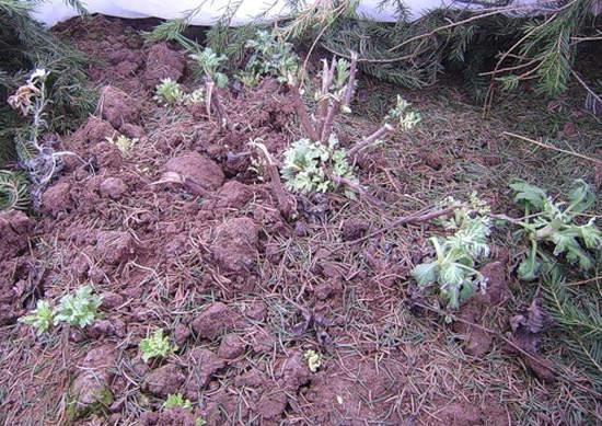 Окучивание хризантем