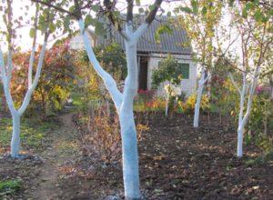 Побелка садовых деревьев осенью и весной: когда, как и чем лучше белить