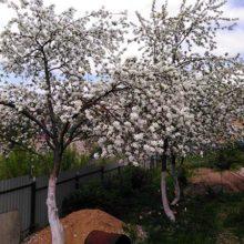 Почему яблоня не цветет и не плодоносит: причины и пути решения проблемы
