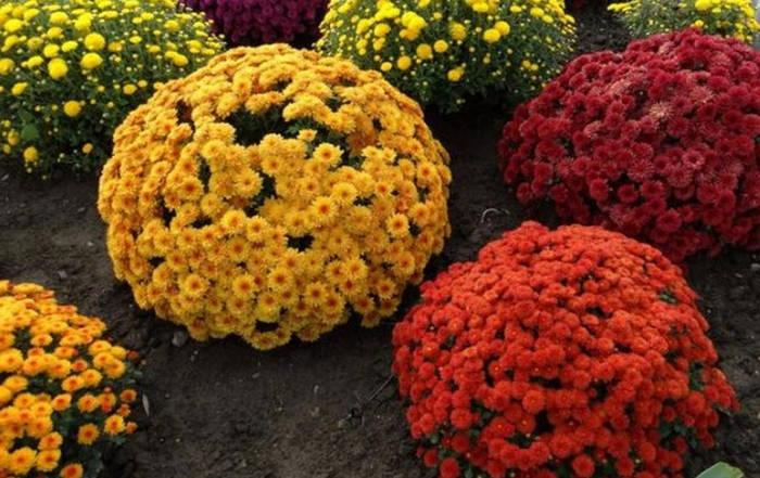 шаровидные хризантемы
