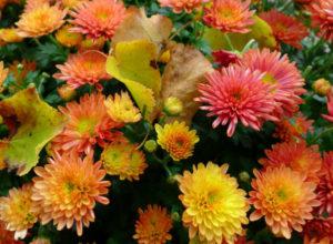 Уход за хризантемами осенью и подготовка к зиме: как сохранить цветок в морозы