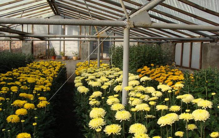 выращивание хризантем в теплицах