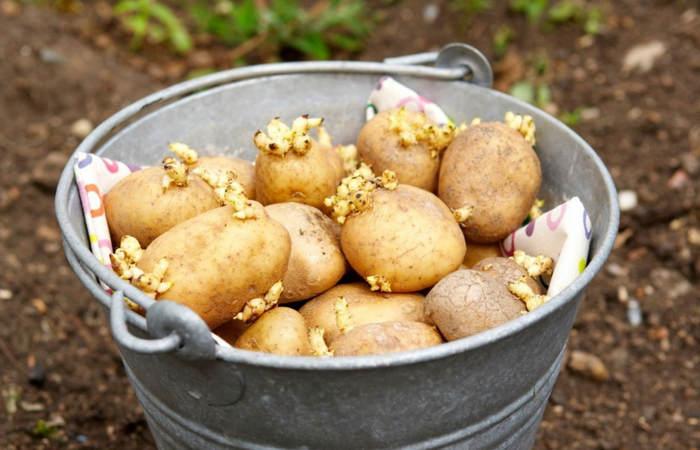 как избавиться от проволочника на картошке