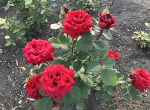 Уход за розами осенью и подготовка к зиме: обрезка и укрытие