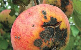 Как бороться с паршой на яблоне: народные и химические средства