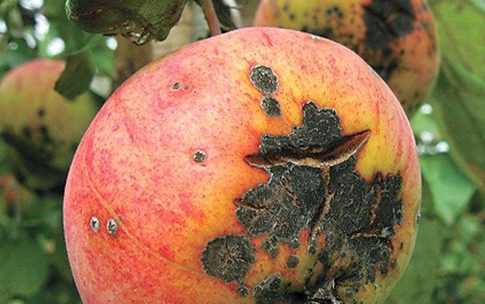 парша на яблоне, как бороться