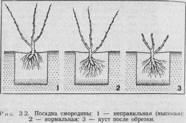 Способы посадки черной смородины