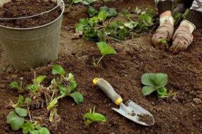 Как правильно посадить клубнику осенью